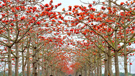 50 red cotton tree seeds Bombax ceiba Fast , showy Tree CombSH M43 - $13.58