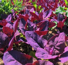 Purple Passion Spinach 100 Seeds - Old but NEW! -Veggie - $2.74