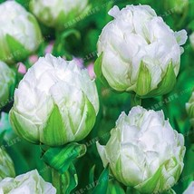 2pcs White Lce Cream Tulips Bulbs (Not Tulip Seeds) - $11.30