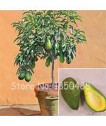 Avocado Seeds Green Fruit Very Delicious Easy to Grow, for Home Garden - $5.99