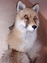 FOX HEAD and TAIL Taxidermy - $380.00