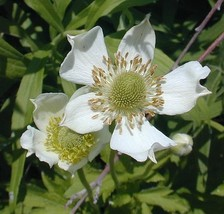 28,000 Seeds 1 Oz Bulk ANEMONE VIRGINIANA White Flower - SHIP FROM US - $7.99