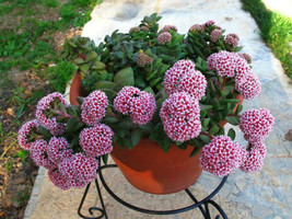 Crassula Springtime  1 double headed rooted cutting not in bloom - $4.90
