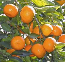 "SATSUMA FRUIT TREE REAL LIVE PLANT CITRUS 3""6""SEEDLING MANDARIN TANGERIN... - $37.70"