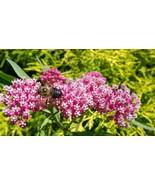 Organic Native Plant, Swamp Milkweed, Asclepias incarnata, B - $3.50
