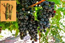 5 Green Montepulciano grapes Cuttings - $38.30