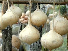 SHIP From US, 25 Seeds Jicama Seeds, Mexican Potato, Vegetable Seed AM - $27.99