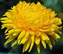 50 Aster seeds ( Paeony Duchess Yellow) * Cut Flower * easy grow CombSH D67 - $2.99