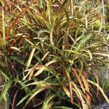 1 Live Plant Croton Zanzabar - $40.99