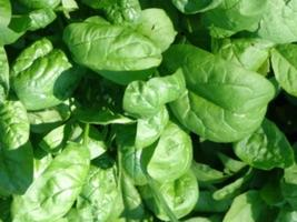 7000mg America Spinach Seeds ~ Slow Bolting Savoyed ~ Baby Garden Greens... - $15.99