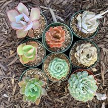 8 pots of 4 Inch Rosette Echeveria Succulent, fully rooted image 3