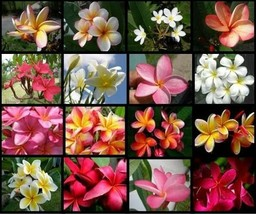 8 Hawaiian Lei Tree Plumeria frangipani tip cuttings Rare Exotic Fragrant - $50.00