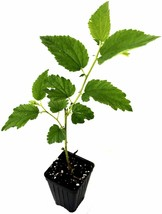 Muntingia calabura - Yellow Jamaican Cherry Tree Live Plant - Outdoor Living - $55.99