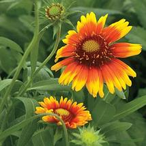 600 Seeds Blanket Flower Native Wildflower Perennial Butterflies Garden ... - $26.73
