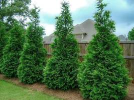 Murray Cypress image 2