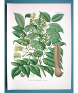 BALSAM OF PERU Medicinal Toluifera Pereirae - Beautiful COLOR Botanical ... - $21.42