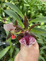 (Zygopetalum) Galeopetalum Arlene Armour 'Conching Fragrant orchid Bloom... - $11.69