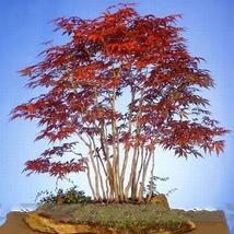20 Seed Heirloom Chinese Xiangshan Red Maple Tree Bonsai, DIY Beautiful ... - $8.99