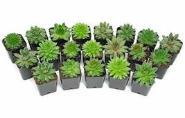 Succulent Plants | 20 Sempervivum Succulents | Rooted in Planter Pots wi... - $54.52