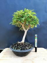 "Chinese pepper bonsai  ""Sichuan Pepper"" - A 20 year old plant - $147.51"