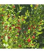 25Pcs Huckleberry Bush Red Seeds Vaccinium Parvifolium Fruit Seed - $20.54