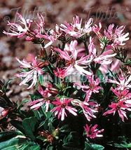Ship From Us Lychnis flos-cuculi 'nana' 100 Seeds, Wb Flowers Seeds - $23.99