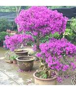 100 Pcs Seeds - very nice Purple Bougainvillea Glabra Bonsai - $14.93