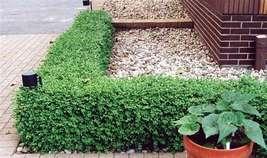 Green Gem Boxwood - No Maintenance Evergreen - Live Plants - Quart Pot - $41.99