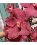 "Renanntanda Cherry Rose 8"" Pot Orchid Plant Vanda Blooming Size A1221 - $80.98"
