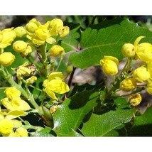 Oregon Grape Holly Seeds - $2.00