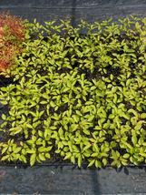 Yoshino Flowering Cherry Tree 2 plants image 5