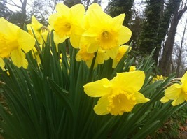 WILD DAFFODIL 50 bulbs LENT LILY,BUTTERCUP image 1