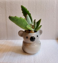 "Succulent in Koala Planter, Panda Plant, 2.5"" ceramic"
