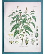 CASCARILLA Bark Tree Croton Eluteria - Beautiful COLOR Botanical Print - $28.69