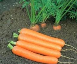 100 Vegetable bonsais Carrot - Delicacy Organically Grown Heirloom - $2.99