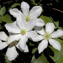 20 Plants Vine Clematis potted clematis garden (22), HZ Beautiful Flower... - $8.89