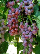 1 Bare Root of Reliance Bunch Grape Vine Seedless - $42.57