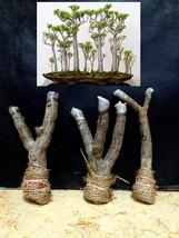 3 Green Crassula Ovata Tree Cutting - Big size - $33.50