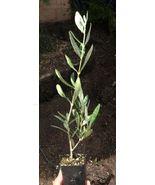 2 INCH POT - OLIVE TREE - LIVE PLANT - OLEA EUROPAEA - Gardening - tkgc - $37.00
