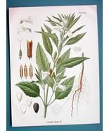 SESAME FLOWER Medicinal Sesamum Indicum - Beautiful COLOR Botanical Print - $21.42