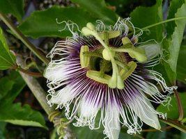 Live plant - Passion Fruit Plant - Possum Purple - Passiflora edulis - tkgg - $40.99