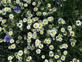400 Dwarf White Creeping Daisy Flower Seeds Outdoor Living TkLucky72 - $61.38
