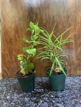 Hydnophytum papaunum And puffii ANT  PLANTS Orchid Companions TWO @ ONE PRICE! image 2