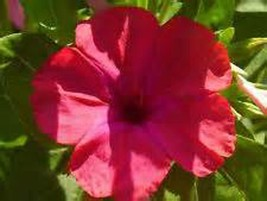 Four O'clock Red , 25+ Seeds Organic, Beautiful Red Colored Blooms  - $8.50