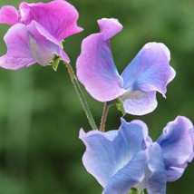 SWEET PEA blue shift 1 oz - $36.99