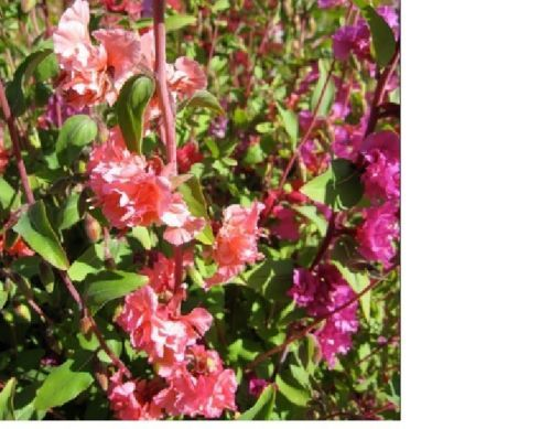 SHIPPED From US,PREMIUM SEED:5500 Particles of Clarkia Mix Flower,Hand-Packaged