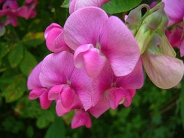 Perennial Sweet Peas 100 Seeds - (Pearl Pink) Known As Everlasting Pea Vine - $12.99