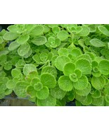Vicks Plant 2 plants grow your own medicine/houseplant FREE SHIPPING! - $19.75