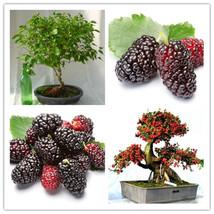 10PCS Mulb Erry Bags Mulberry Fruit Seeds DIY Home Bonsai Morus Nigra Tr... - $4.66