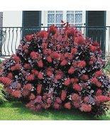 Starter Plant Cotinus 'Royal Purple' Smokebush - $46.82